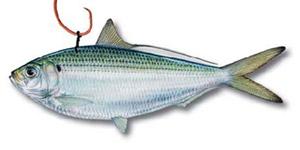 Живая рыба (живец)
